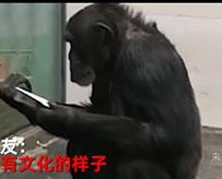 大猩猩酷爱读报纸走红