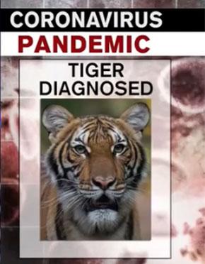 全球首例老虎确诊!确认猫科动物会感染
